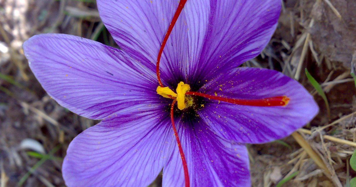 Saffron8